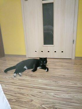 Oglądasz obrazki z tematu: CZarny kot z białym krawacikiem błąka się po Żyznej