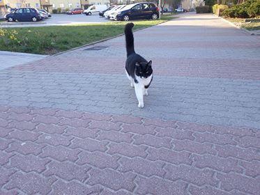 Oglądasz obrazki z tematu: Czarno biały kot błaka się po Gajowej