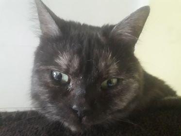 Oglądasz obrazki z tematu: Czarno - dymna kotka z  Sienkiewicza odnaleziona