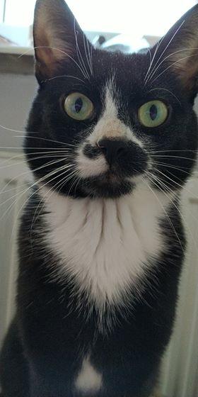 Oglądasz obrazki z tematu: Czarno biały kot z ul. Włókienniczej - odnaleziony