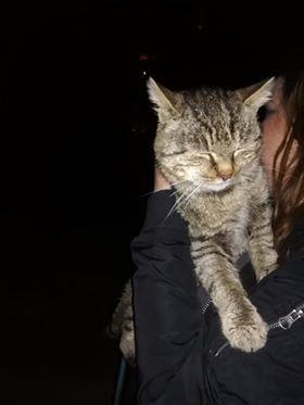 Oglądasz obrazki z tematu: Szary kot/kotka  znaleziony na ul. Konwaliowej