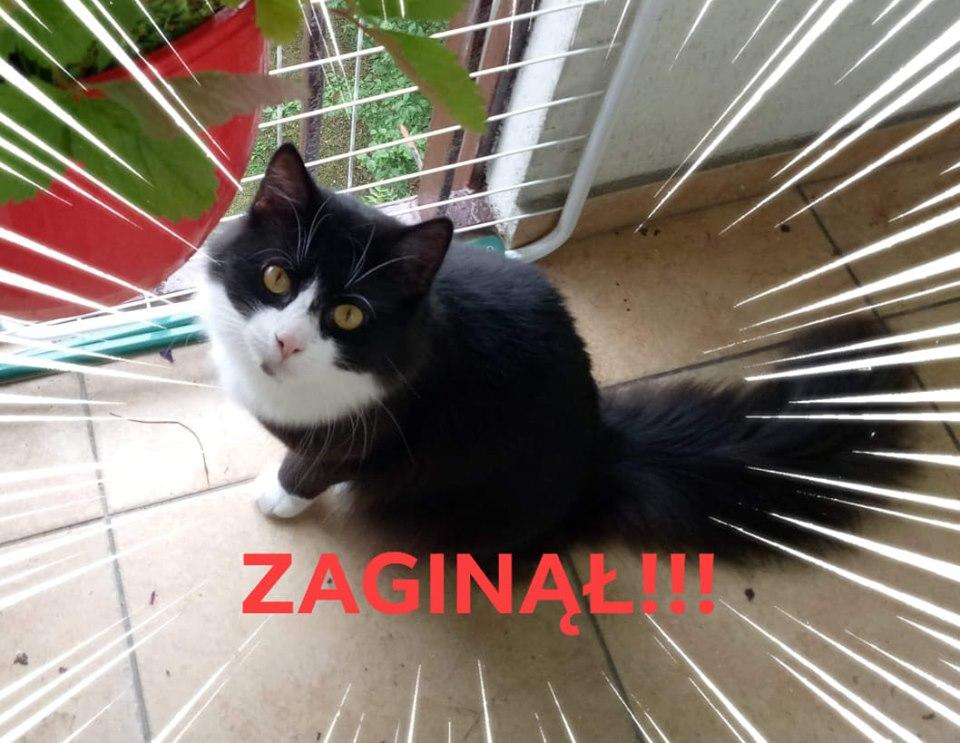Oglądasz obrazki z tematu: Czarno biały kot z ul Leszczynowej odnaleziony