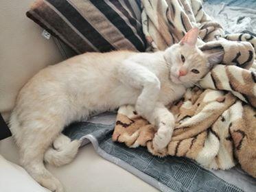 Oglądasz obrazki z tematu: Biszkoptowy kotek zaginął na ul. Rybackiej w Zaściankach