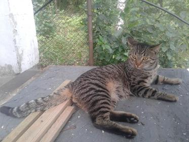 Oglądasz obrazki z tematu: Szary pręgowany kot zaginął na ul. Jodłowej w Grabówce