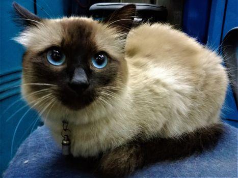 Oglądasz obrazki z tematu: Kot ragdoll zaginął na ul. Korzeniowskiego