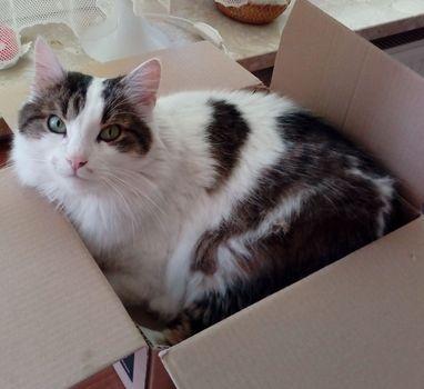 Oglądasz obrazki z tematu: BIało szary kot bez ogonka z  os. Dziesięciny wrócił do domu
