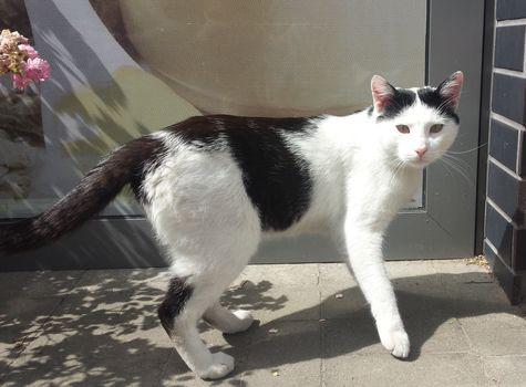 Oglądasz obrazki z tematu: Biało czarny kot błąka się po Ignatkach