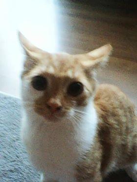 Oglądasz obrazki z tematu: Biało rudy kotek zaginął na ul Kolbego