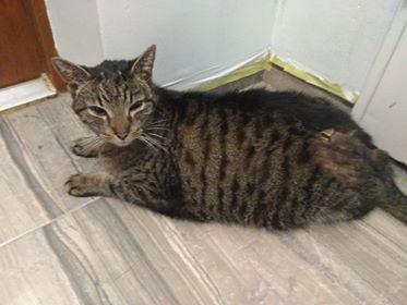 Oglądasz obrazki z tematu: Szary kot znaleziony na Krętej - pilnie poszukiwany własciciel!!!