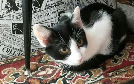 Oglądasz obrazki z tematu: Dwa biało czarne koty zaginęły w Tykocinie