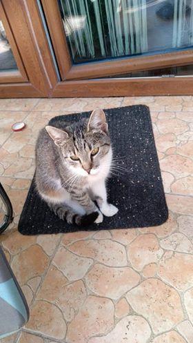 Oglądasz obrazki z tematu: Szaro biała kotka błąka się po os. Wygoda/Jaroszówka