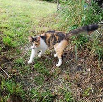 Oglądasz obrazki z tematu: Długowłosa kotka tricolor błąka się po ul. Jakimy w Wasilkowie