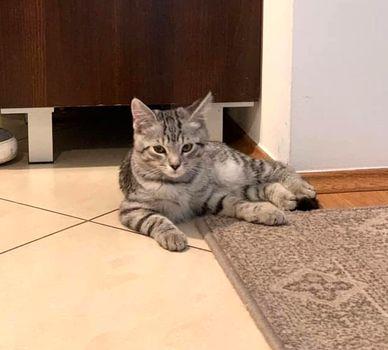 Oglądasz obrazki z tematu: Szary kotek na ul. Wojskiego w Zaściankach