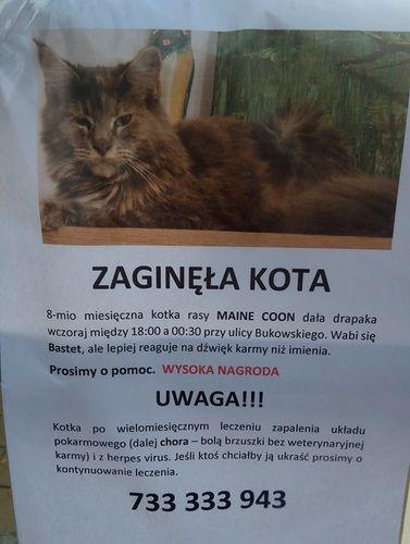 Oglądasz obrazki z tematu:  Szara puchata kotka zaginęła na ul. Bukowskiego (Bojary)