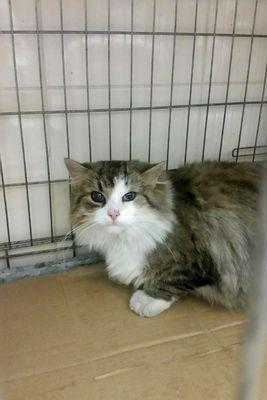 Oglądasz obrazki z tematu: Biało szary puchaty kot znaleziony w Kleosinie