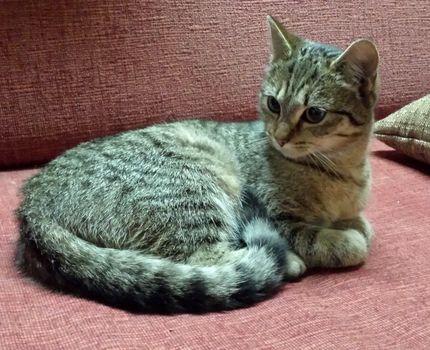 Oglądasz obrazki z tematu: Młoda szara koteczka znaleziona  na ul. Bobol