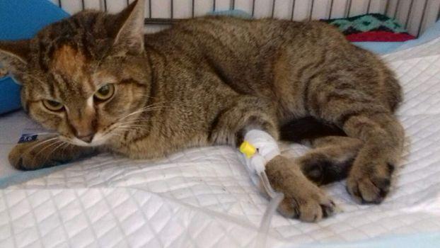 Oglądasz obrazki z tematu: Szara kotka została znaleziona na ul. Zabłudowskiej