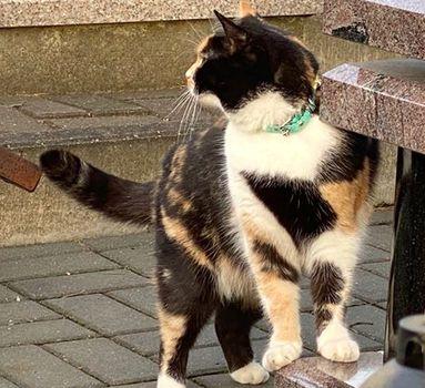 Oglądasz obrazki z tematu: Kotka tricolor błaka się po Cmentarzu Prawosławnym