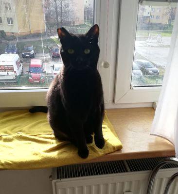 Oglądasz obrazki z tematu: Czarny kot z  ul. Palmowej odnaleziony