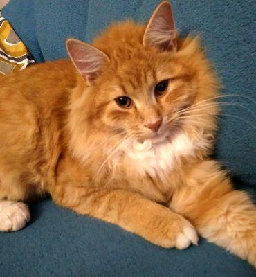 Oglądasz obrazki z tematu: Rudy puchaty kot zaginął na ul. Batorego