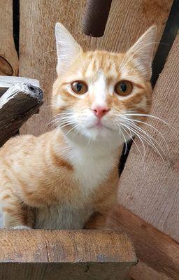 Oglądasz obrazki z tematu: Biało rudy kot z ul. Błękitnej wrócił do domu