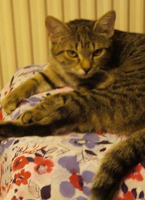 Oglądasz obrazki z tematu: Szara pręgowana kotka zaginęła w Dobrzyniewie