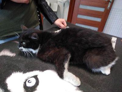 Oglądasz obrazki z tematu: Czarno biały kot/kotka znaleziony w Ignatkach