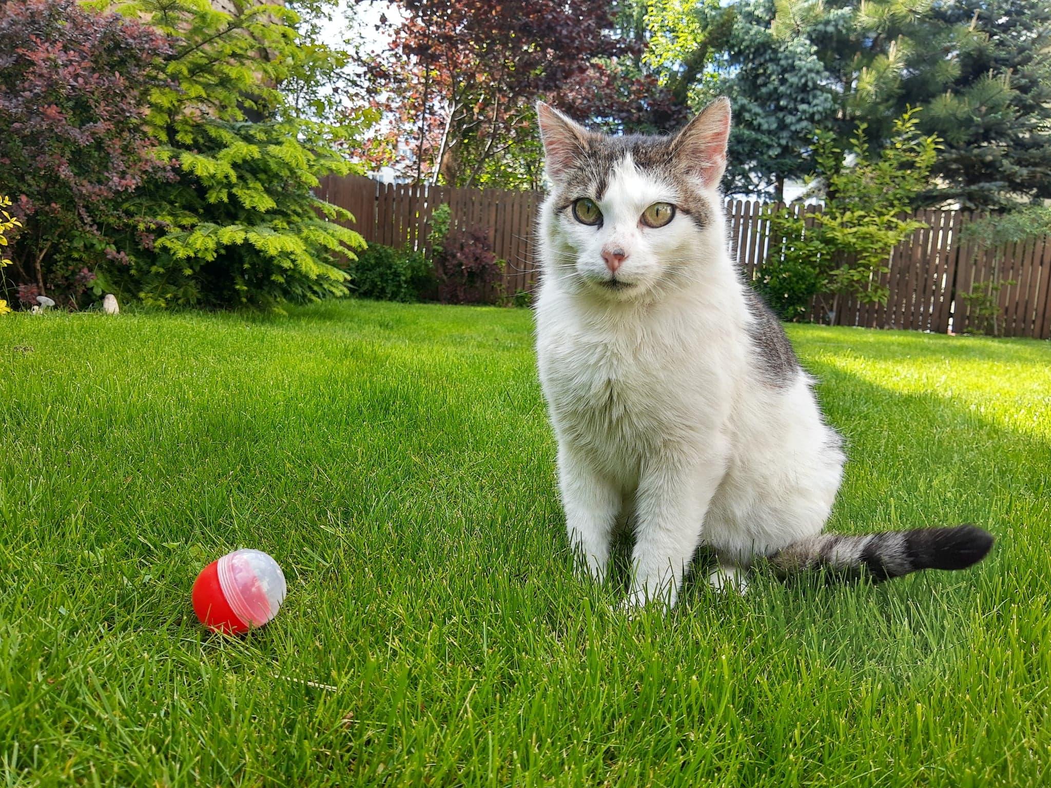 Oglądasz obrazki z tematu: Biało szara kotka znaleziona na ul. Ryskiej