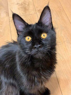 Oglądasz obrazki z tematu: Czarna kotka w typie Maine Coon zaginęła na ul. Scaleniowej