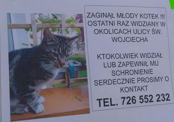 Oglądasz obrazki z tematu: Szary kotek z białymi skarpetkami zaginął na ul. Św Wojciecha