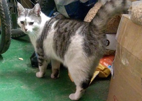 Oglądasz obrazki z tematu: CZarno biały puchaty kot błąka się po Warszawskiej