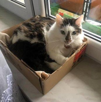 Oglądasz obrazki z tematu: Bialo szary puchaty kotek zaginął w Wasilkowie