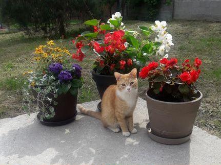 Oglądasz obrazki z tematu: Rudo biały kot zaginął w Sowlanach