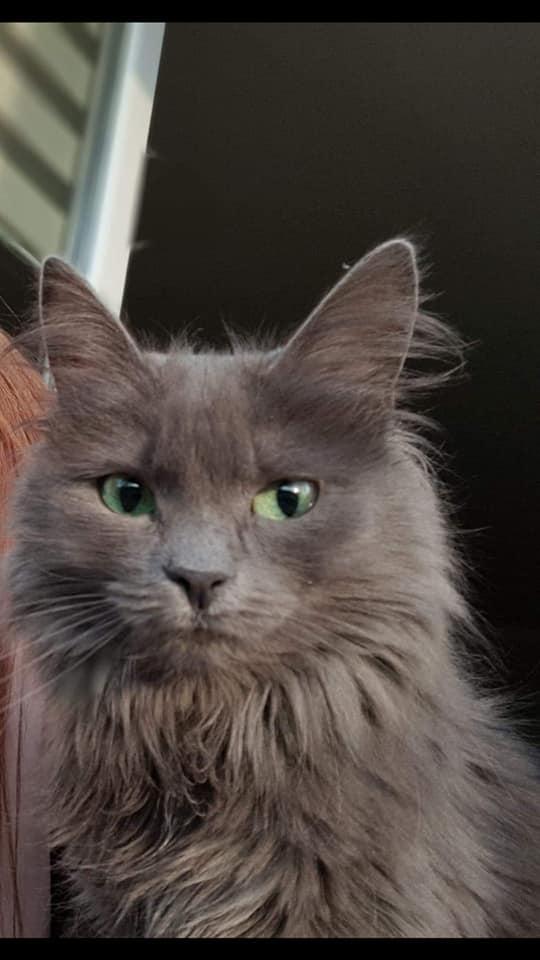 Oglądasz obrazki z tematu: Szara puchata kotka zaginęła na ul. Szpitalnej
