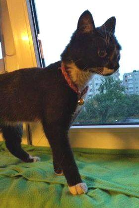 Oglądasz obrazki z tematu:  Czarno biały kotek w kolorowej obroży  błąkał się po ul. Waszyngtona