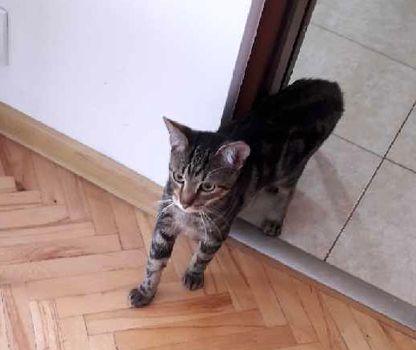 Oglądasz obrazki z tematu: Szary ciemno pręgowany kot znaleziony na ul. Żabiej