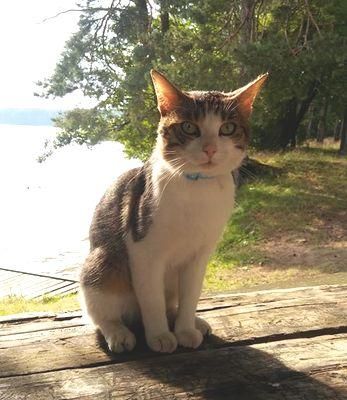 Oglądasz obrazki z tematu: Szaro biały kotek zaginął w Augustowie
