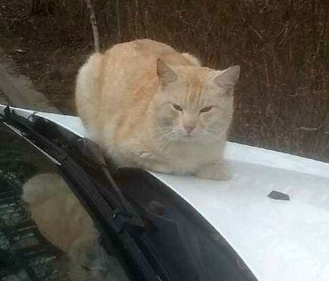 Oglądasz obrazki z tematu: Rudy kot zaginął z os. Dziesięciny odnaleziony