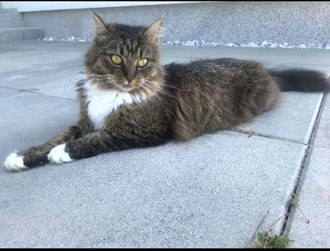 Oglądasz obrazki z tematu: Szaro biała  puchata kotka z  Kosmatego  Borku odnaleziona