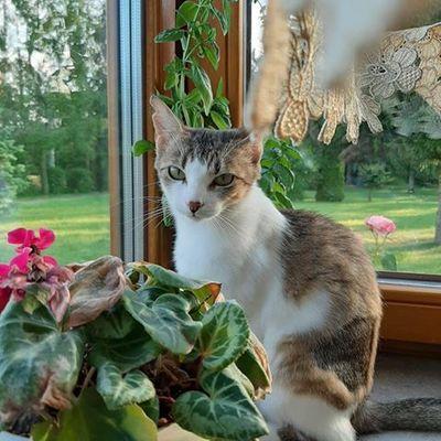 Oglądasz obrazki z tematu: Biało szara kotka z ul. Szarych Szeregów odnaleziona