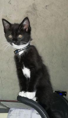 Oglądasz obrazki z tematu: Czarno bialy kociak (koteczka) z  os. Wygoda odaleziona