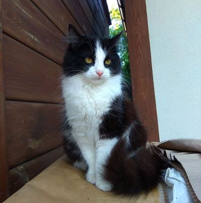 Oglądasz obrazki z tematu: Czarno biała puchata kotka z ul. Mohylowskiej odnaleziona