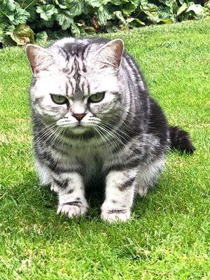 Oglądasz obrazki z tematu: Srebrna kotka brytyjska tabby zaginęła w Niewodnicy Kościelnej