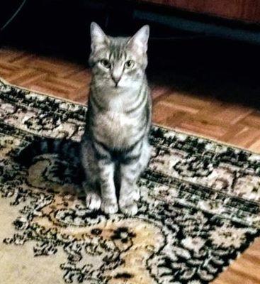 Oglądasz obrazki z tematu: Srebrno szara kotka zaginęła w okolicy Piastowskiej