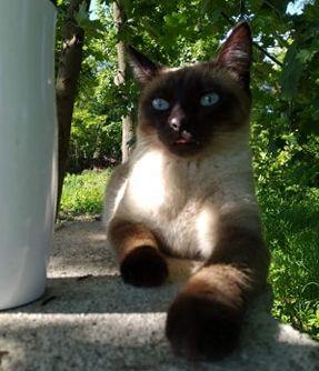 Oglądasz obrazki z tematu: Kotka syjamska zaginęła na Raginisa