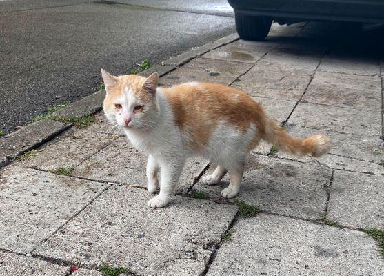 Oglądasz obrazki z tematu: Biało rudy kot błąkał się po ul. Skłodowskiej