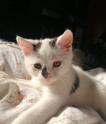 Oglądasz obrazki z tematu: Biało czarna młodziutka kotka z n os. Bema odnaleziona :)