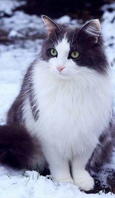 Oglądasz obrazki z tematu: Biało czarna puchata kotka zaginęła na ul. Borsuczej w Wasilkowie