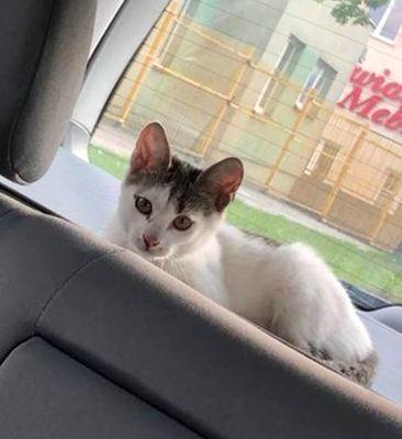 Oglądasz obrazki z tematu: Biało szary kot/kotka błąkał się po Ogrodowej