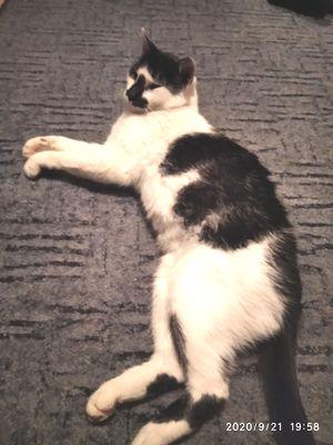 Oglądasz obrazki z tematu: Biało czarny kot z ul. Sokólskiej wrócił do domu